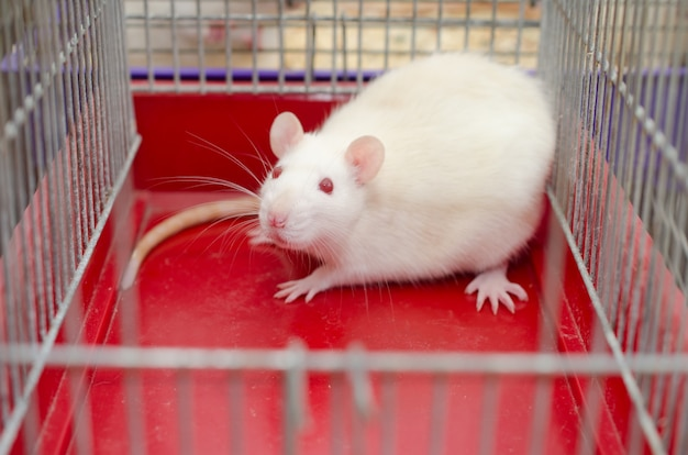 Scared white laboratory rat in a cage
