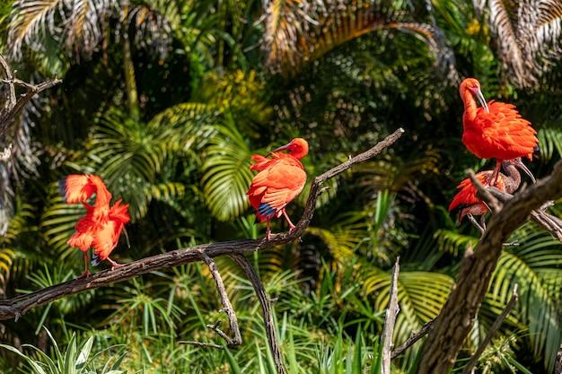 Threskiornithidae 가족의 scarlet ibis 또는 eudocimus ruber 붉은 새.