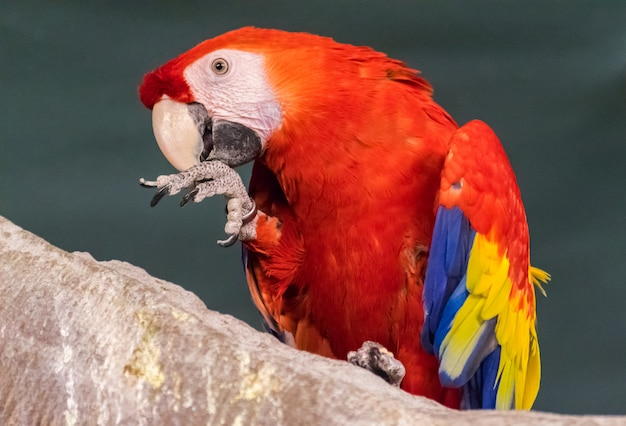 Scarlet macaw (ara macao) portrait while cleaning