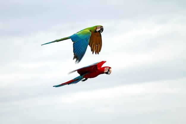 空を飛んでいる緋色のコンゴウインコ