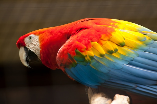 緋色のコンゴウインコ