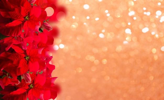 Алый цветок пуансеттии или рождественская звезда граница на праздничном фоне