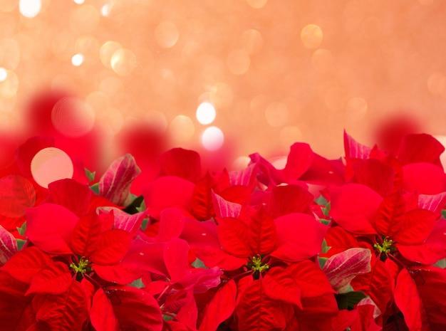 Алый цветок пуансеттии или рождественская звезда бордюр на праздничном розовом фоне