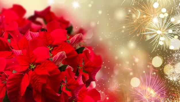 Алый цветок пуансеттия или рождественская звезда на праздничном фоне с фейерверком