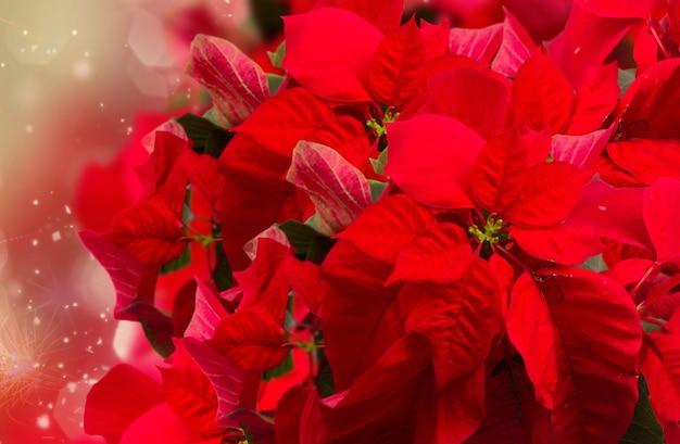 Scarlet poinsettia flower