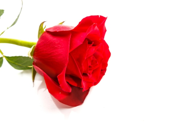 Scarlet rose on white background copy place. horizontal photo.