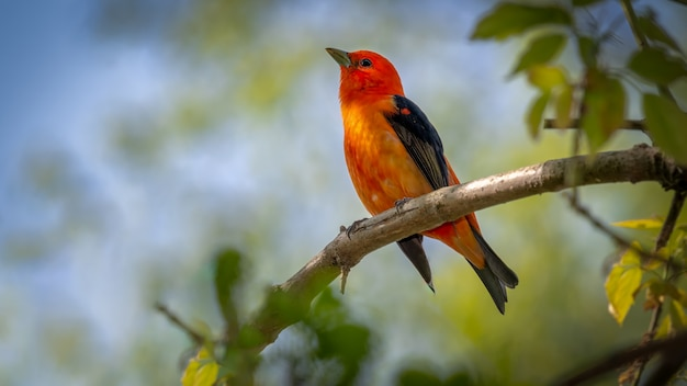 Scarlet tanager on a branch
