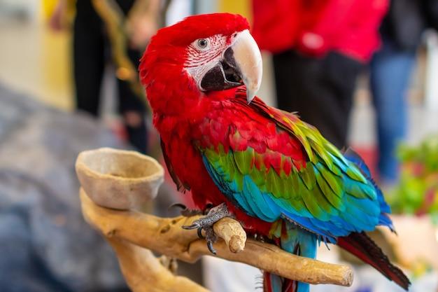 Портрет красивого красочного конца попугая ары ара scarlet вверх.