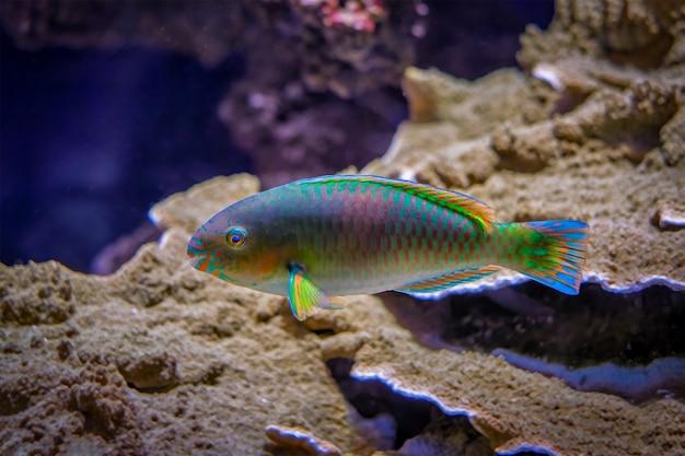 Scarus quoyifish quoys parrotfish 수중 바다에서