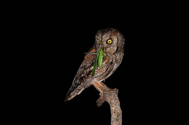 Scary eurasian scops owl hunting bushcricket at night from tree branch
