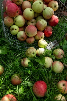정원에서 잔디에 흩어져 익은 사과. 새로운 수확. 자연에서 온 비타민과 건강 식품. 수직의.