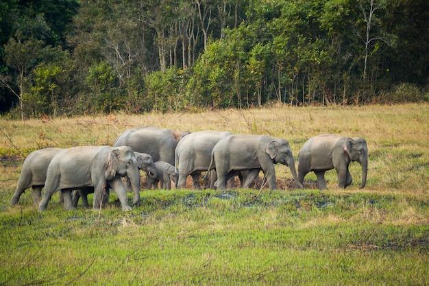 Scene of family of elephants at khao yai national park, thailand