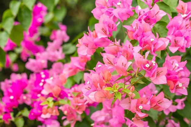 부드러운 흐릿한 스타일의 분홍색 부겐빌레아 꽃 장면, 밝은 햇빛과 녹색 흐릿한 자연 배경, 선택적 초점.