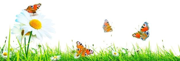 자연 개화 카모마일 꽃과 나비의 풍경 배경.
