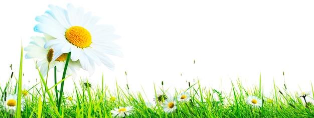 자연 개화 카모마일 꽃의 풍경 배경.