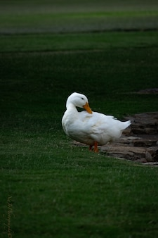Scenery of a cute white pekin duck hanging out in the middle of the park