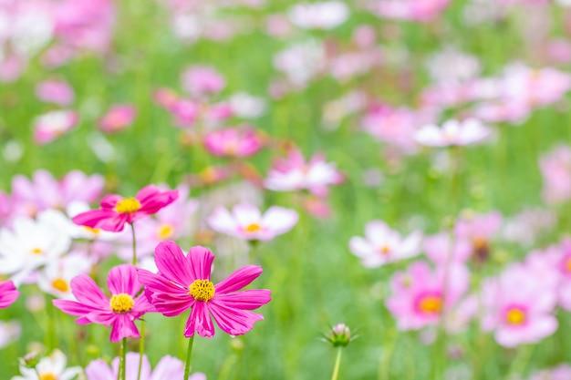 花の風景、ピンクのコスモス。