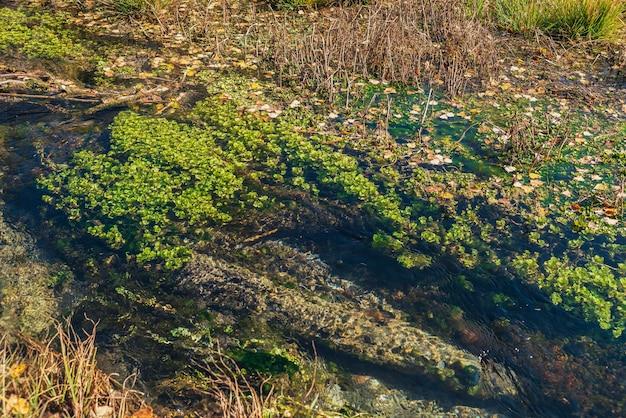 緑の植物と草の中に黄色い落ち葉があるマウンテンブルックの澄んだ水と風光明媚な秋の風景。透明な水面を持つ美しいマウンテンクリークの底にある水中植物。