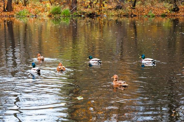 Живописный яркий пейзаж золотой разноцветной осенью, осенью. кряквы дикие утки птицы купание пруд, поверхность озера реки. прекрасный октябрь ноябрь природа на открытом воздухе, животный мир