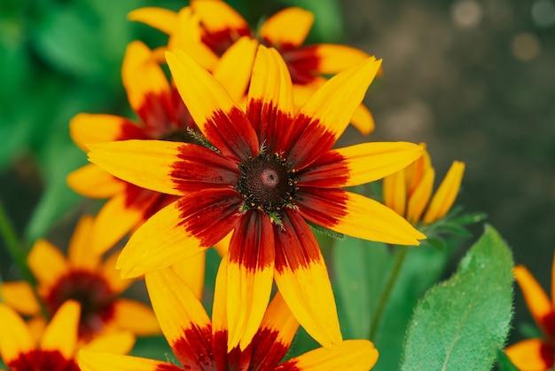 매크로에서 경치 좋은 꽃 rudbeckia fulgida