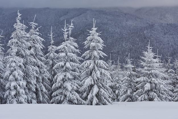 トウヒの木の風光明媚なイメージ。凍るような日、穏やかな冬のシーン。場所カルパティア、ウクライナヨーロッパ。スキーリゾート。野生の地域の素晴らしい写真。地球の美しさを探ります。観光の概念。明けましておめでとうございます!