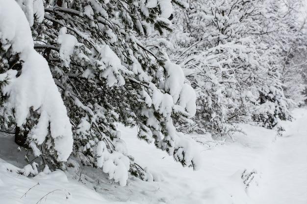 잔잔한 겨울의 서리가 내린 날 가문비나무의 아름다운 이미지. 야생 지역의 멋진 그림입니다. 지구의 아름다움을 탐험하다