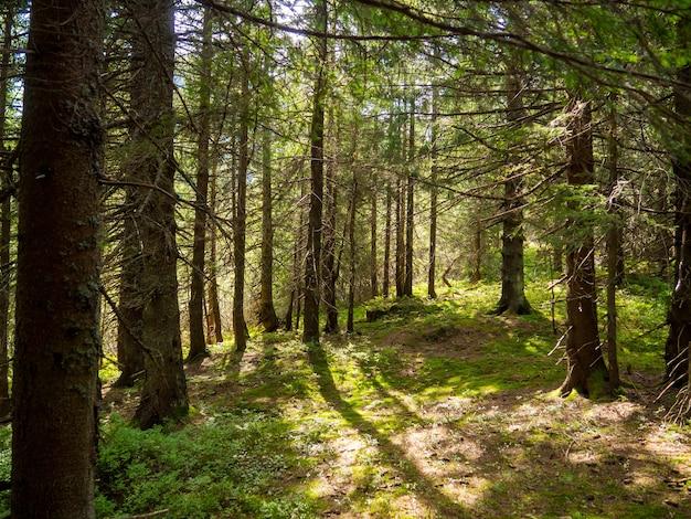 木製の針葉樹林の真ん中にある風光明媚な風景