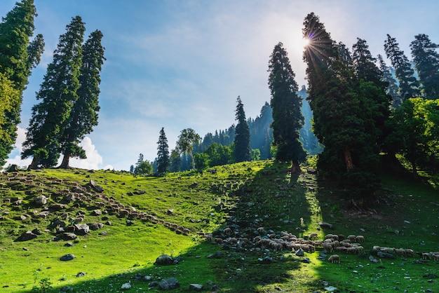 목초지에서 걷고 양의 그룹과 경치 좋은 자연 시골 풍경