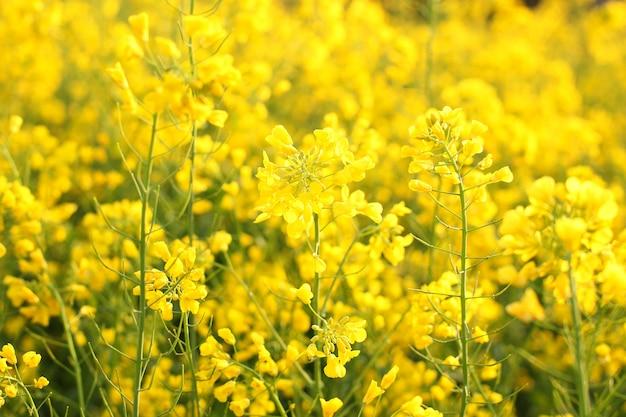 Живописный сельский пейзаж с полем желтого рапса, рапса или рапса. поле рапса, зацветая канола цветки близко вверх. изнасилование на поле летом. ярко-желтое рапсовое масло. цветущий рапс