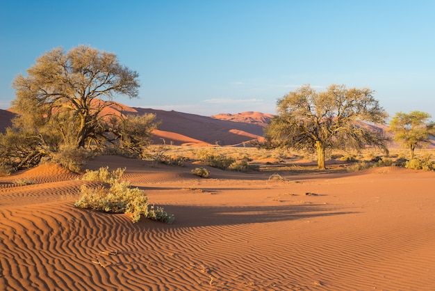 The scenic sossusvlei and deadvlei, clay and salt pan with braided acacia trees surrounded by majestic sand dunes