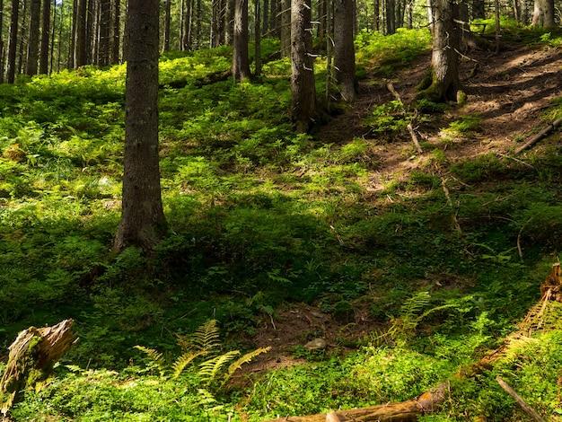 Живописная тропа, заросшая корнями, посреди хвойного леса.