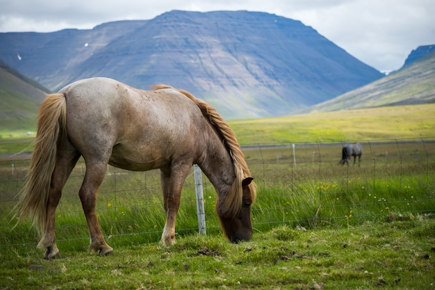 Scenic view of icelandic horse on the meadow
