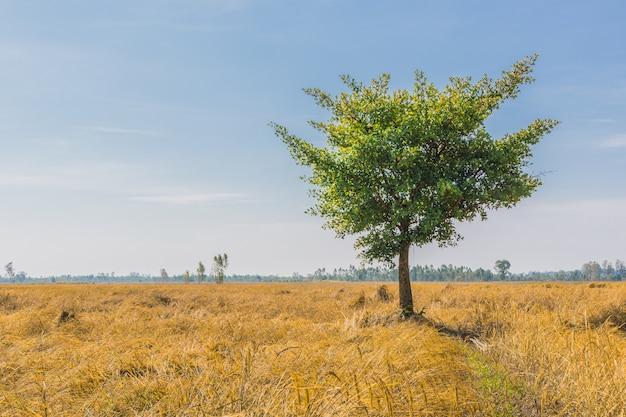 空への田んぼの単独の木の景色。