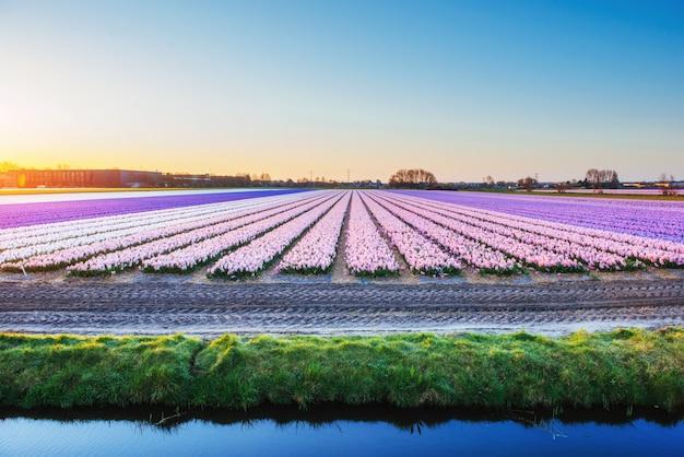 オランダのヒヤシンスフィールドの風光明媚なビュー。