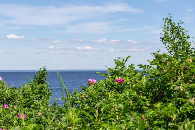 Живописный вид на кусты шиповника и море на горизонте