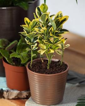 Золотая капелла schefflera - карликовое дерево-зонтик крупным планом