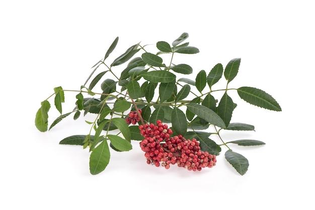 Schinusterebinthifoliaの果実と緑の葉が白い背景で隔離。