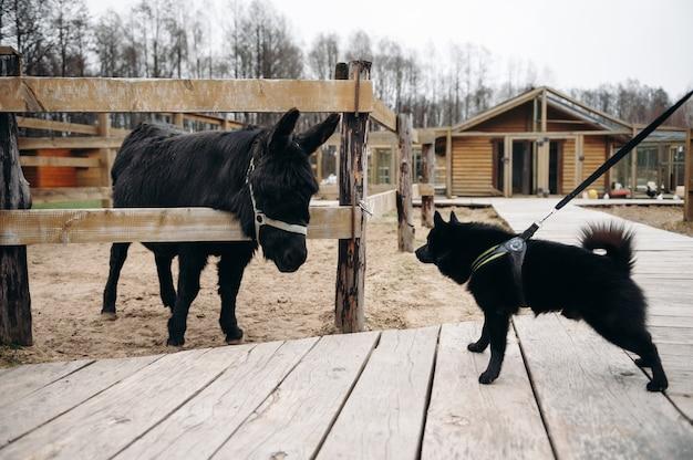 Schipperke 검은 개와 당나귀