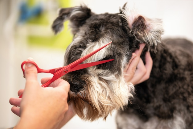 Schnauzer dog, close up getting his hair cut by scissors at the groomer salon.