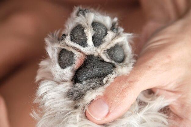 손톱을 손질하는 슈나우저 강아지