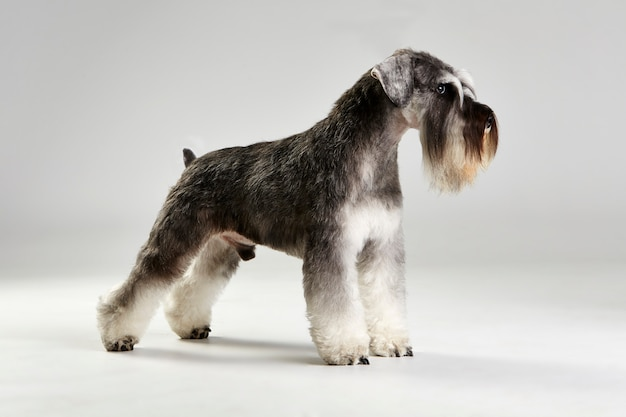 Schnauzer terrier dog profile