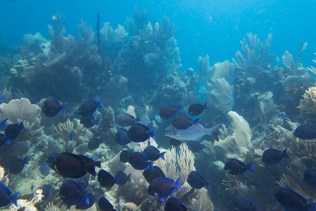 School of blue tang fish (paracanthurus hepatus) swimming underwater, utila, bay islands, honduras
