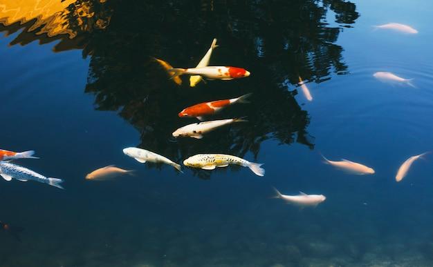 School of fancy carp swimming in the pond