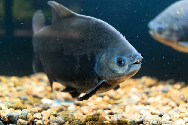 A school of red pacu piranha fish swims in the aquarium predatory fish