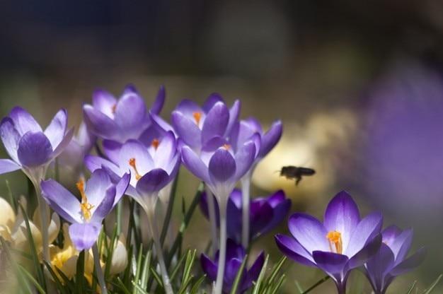 Schwertliliengewaechs весной крокусы