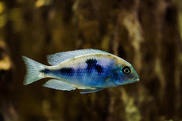 黒い斑点を持つ青い色のsciaenochromis fryeri魚は水槽に浮かぶ