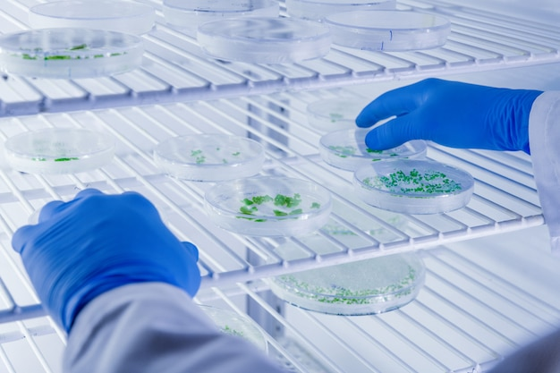 Scientific handling cultures in petri dishes in bioscience laboratory refrigerator.