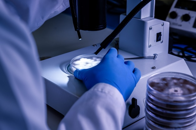 Scientific handling a light stereomicroscope examines a culture in a petri dish for pharmaceutical bioscience research.