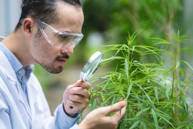 Scientist checking on organic cannabis hemp plants in a weed greenhouse. concept of legalization herbal for alternative medicine with cbd oil, commercial pharmaceutical in medicine business industry