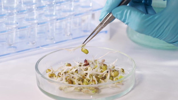 A scientist examines the germinated seeds of agricultural plants